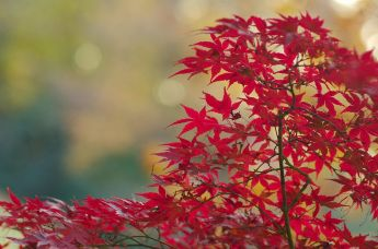 Japanese_Maple,_Shinjuku_Gyoen(Shinjuku_Imperial_Garden)